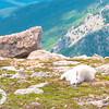 Nap Time, Juvenile Mountain Goat, Mt. Evans, CO