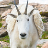 Shedding Mountain Goat - Up Close and Personal, Mt. Evans, CO