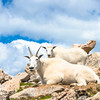 Momma Mountain Goat and Kid, Mt. Evans, CO.