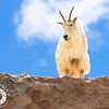 Mountain Goat on High