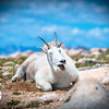 Mountain Goat Belting Out a Song, Mt. Evans, CO