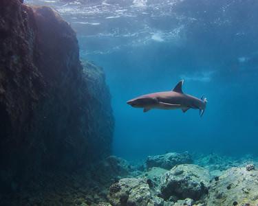 """Morning Swim"" : Triaenodon obesus"
