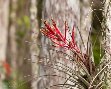 Wild Pine (Bromeliad) - Corkscrew Swamp