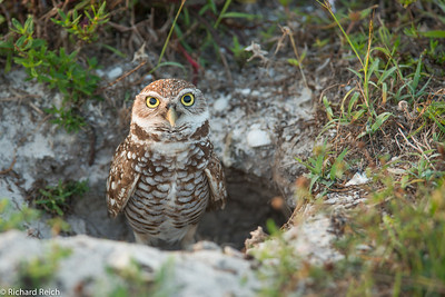 Burrowing Owl Spinnaker Dr, Marco Island, FL