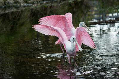Roseate Spoonbill,  Pelican Bay, Naples, FL