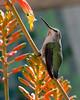 Hummingbird-3125