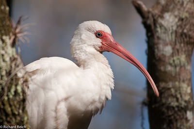 Whire Ibis, Corkscrew Swamp, Naples, FL