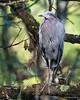 Green Heron, Corkscrew Swamp