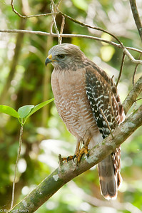 Red-shouldered Hawk, Corkscrew Swamp, Naples, FL