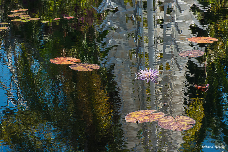 Lilly pond, Naples Botanical Gardens