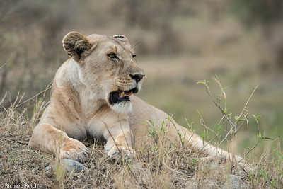Lion, Serengeti