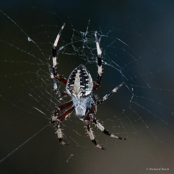 Spider, Spotted Orbweaver