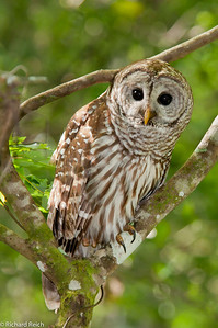 Barred Owl, Corkscrew Swamp, Naples, FL
