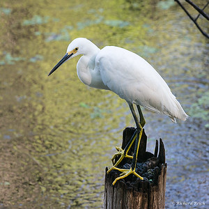 Snowy Egret, nonbreeding