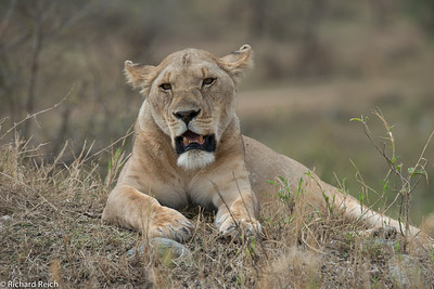 Lion in the Sernegeti