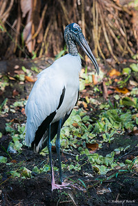 Wood Stork, Corkscrew Swamp