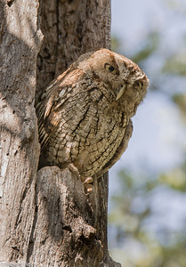 Eastern Screech Owl, Pelican Bay North Berm, Naples, FL