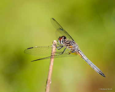 Dragon fly, female Blue Dasher (Pachydiplax longipennis)