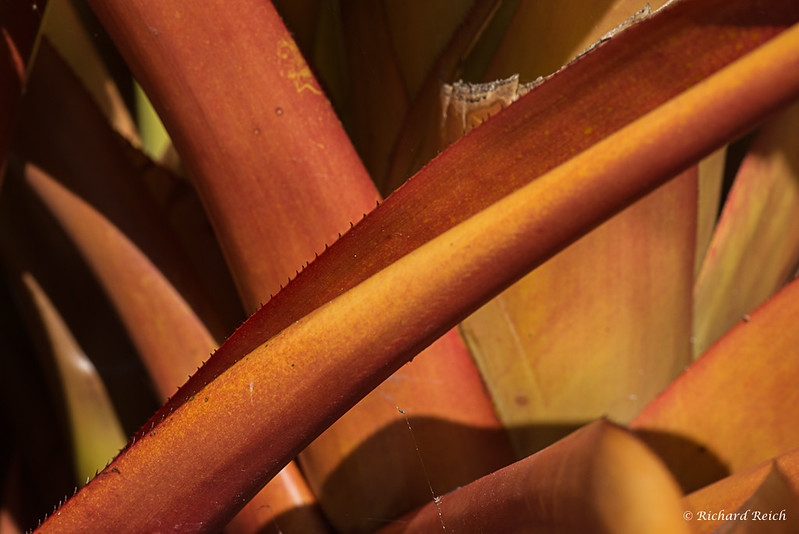 Pineapple Ananas comosus, Bromeliaceae native to Brazil