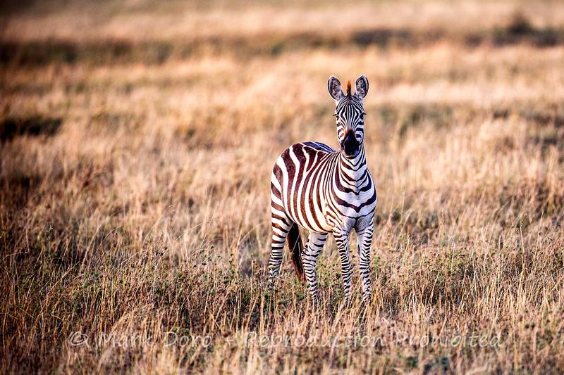 Zebra, Serengeti, Tanzania