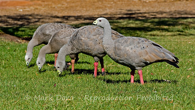 Cape Barren Geese feeding