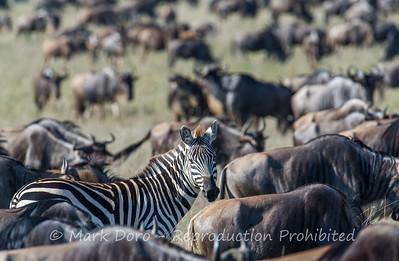 Burchell's Zebra in a Wildebeest herd, Serengeti, Tanzania