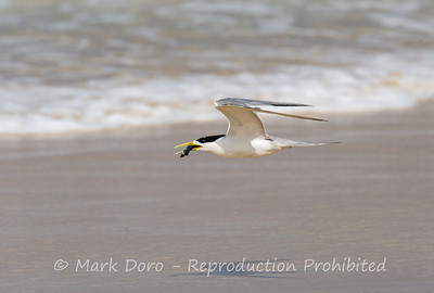 Crested Tern with lunch, Delicate Nobby, NSW