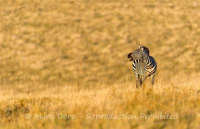 Male Burchell's Zebra, Ngorongoro Crater, Tanzania