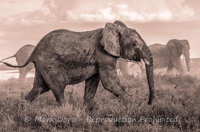 African Elephant herd, Serengeti, Tanzania