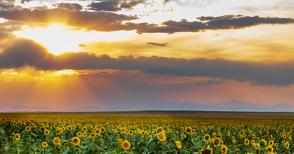 Colorado Sunflower Field and Sunrays Panorama