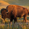Bison on the National Bison Range, Montana