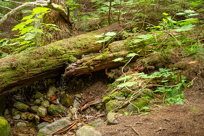 Water running down a hollow log. The large-leafed plant is devils club. The tubers are edible.