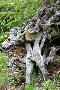 Weathered Roots With Entwined Rock