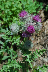 Possibly edible thistle or St Mary's thistle