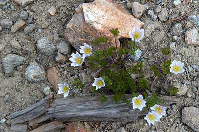 Pasqueflower, Alpine anemone.