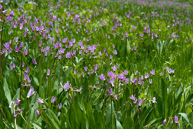 a field of Jeffery shooting stars