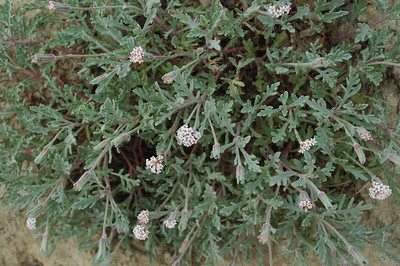 Possibly ballhead gillia. Lake Ingalls, Teanaway, WA.  Anyone with a plant ID? Heads are very small.