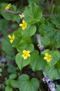 Mountain monleyflower