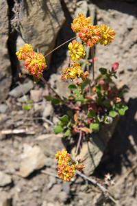Sulpher Flower