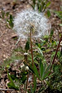 Spearhead agroseris seedhead