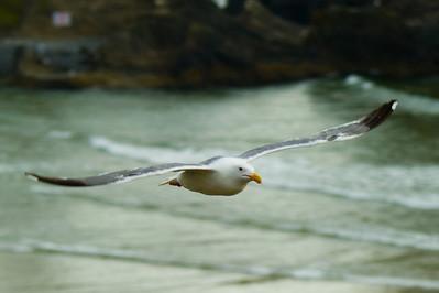 Western Gull Soaring