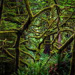 Redwoods Mose