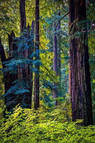 Blue Redwoods