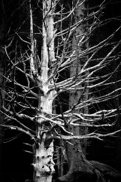 Shorelind Cedar