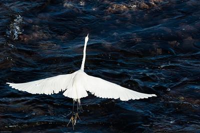 Great egret (Ardea alba) aka Common egret