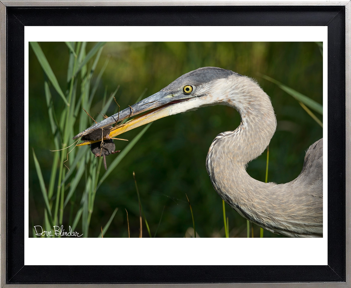 Great Blue Heron with Short-tailed Shrew