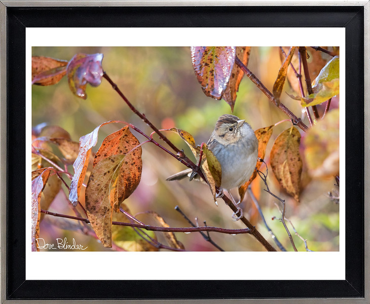 Swamp Sparrow in Autumn