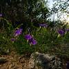 Ipomoea ternifolia, Tripleleaf Morning-glory, 2021 Monsoons, Pima County, Arizona