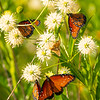 Queen butterfly on Cephalanthus occidentalis, Danaus gilippus, 2021 Monsoons, Pima County, Arizona