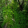 Ipomoea hederacea vines, 2021 Monsoons, Pima County, Arizona